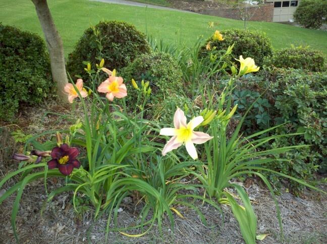 Day Lilly/Dag Lelies. Gewilde plant wat maklik vermeerder en heel jaar groen bly. Verskeidennheid kleure beskikbaar * Pryse; R25  *Voorraad: 9