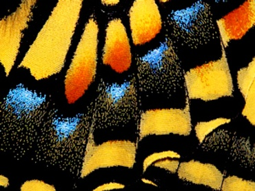 Yellow, orange and blue butterfly wings