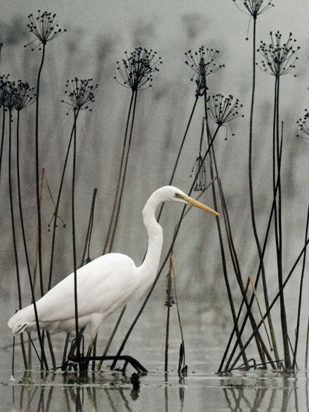 Great White Egret. Wouldn't this make a great painting or cross stitch piece?