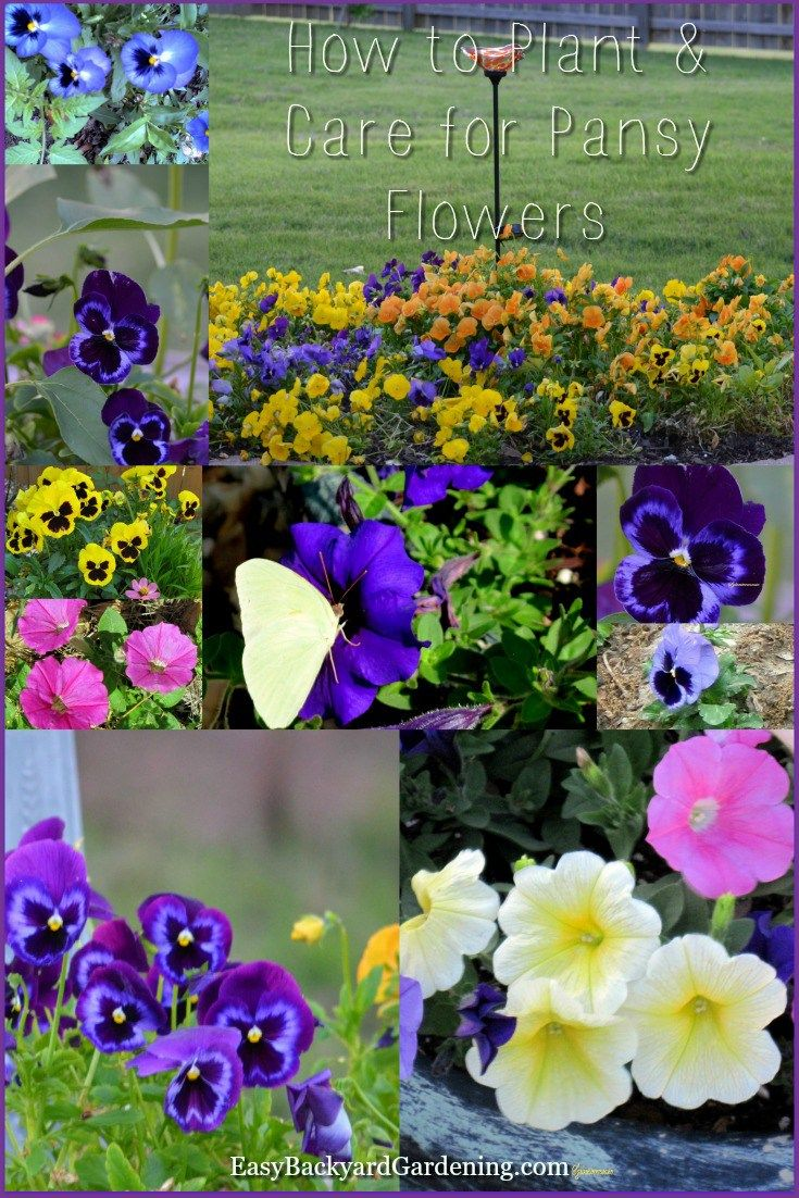 How To Plant And Care For Pansy Flowers Pansies Easy Backyard Gardening Pansies Flowers Pansies Pansy Garden