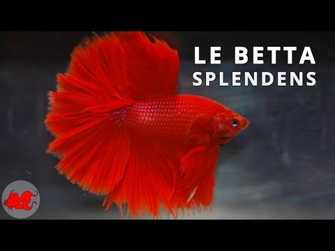 Poisson combattant - Betta splendens ✔ - YouTube