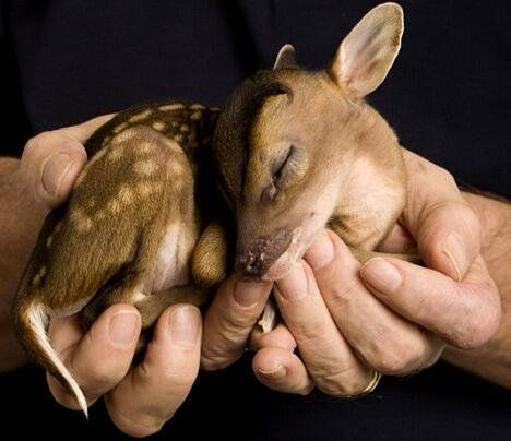The leaf muntjac is a tiny species of deer discovered in 1997 in Myanmar.