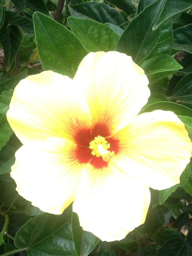 10 best beautiful flowers of maui images on pinterest | beautiful