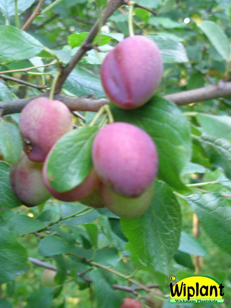 Prunus domestica 'Koetarhan väskynä'/'Experimentalfältets sviskon'. Gammal svensk sort. Medelstora blåröda frukter, söta och aromrika. Zon III?