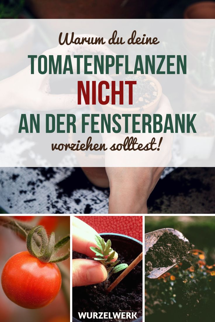 Kräftige Tomaten selber ziehen und pikieren