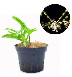 Dendrobium Strebloceras Rp 75,000