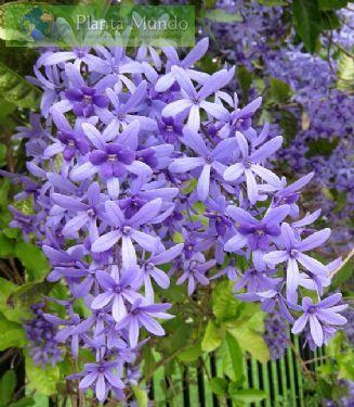Flor de São Miguel – Petrea subserrata - Planta Mundo