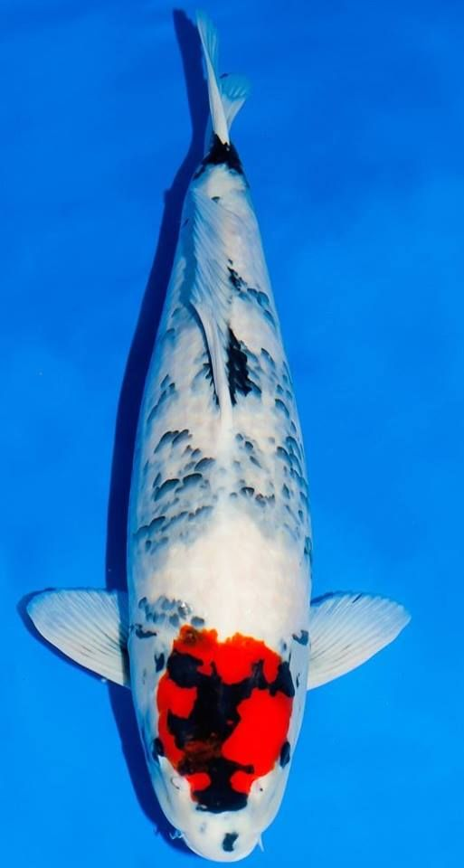 17 best images about koi and goldfish on pinterest for Carpe koi tancho