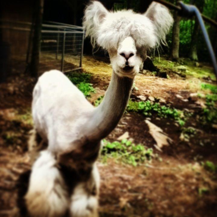 Shaved llama haha