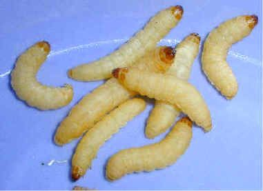 How Do Wax Worms Get Their Food