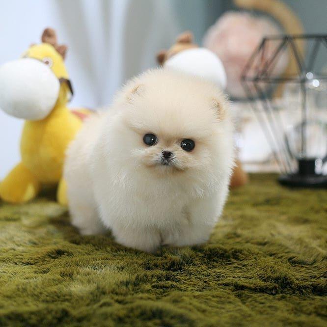 Pomeranian Puppy For Sale Ohio In 2021 Pomeranian Puppy Pomeranian Puppy For Sale Puppies For Sale