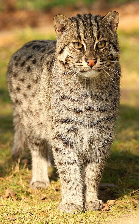 The endangered Fishing Cat (Prionarlurus viverrinus) is found in southern India, Sri Lanka, southeast Asia, Java, and in the foothills of the Himalayas.