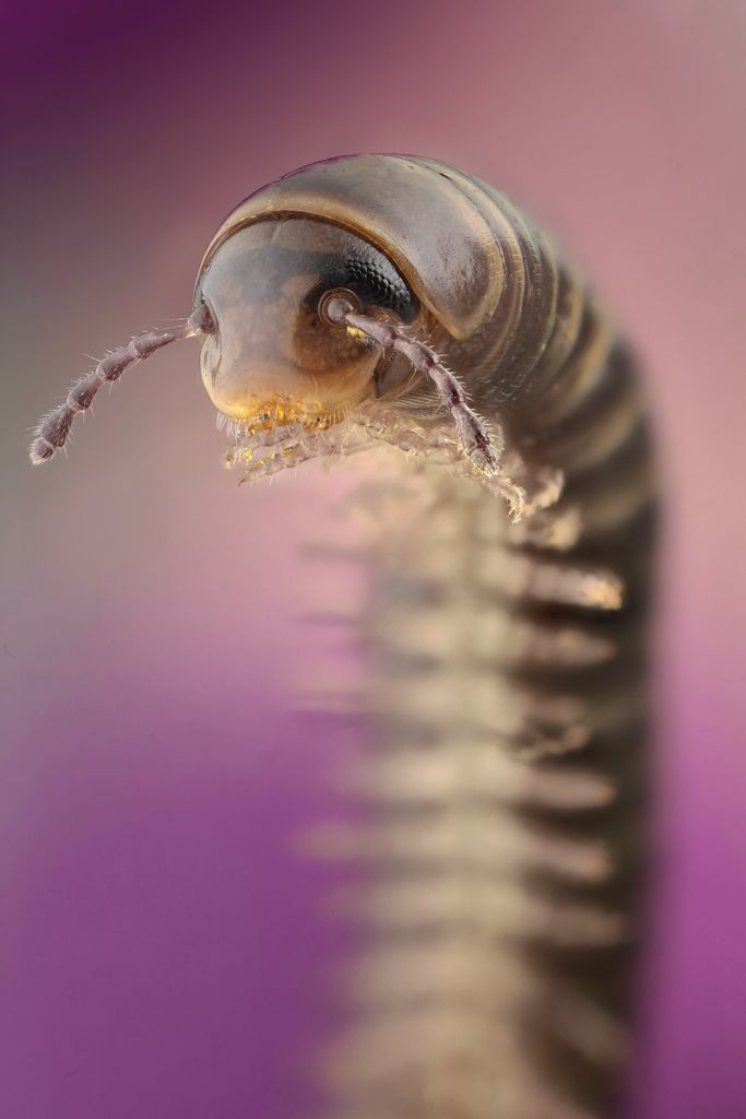 """Icky"" made ""beautiful""  millipede."