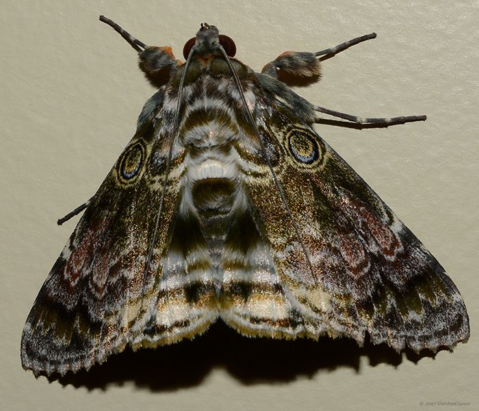 I thought with its scalloped wings and eye spots this had to be a granny's cloak moth - but now ...?