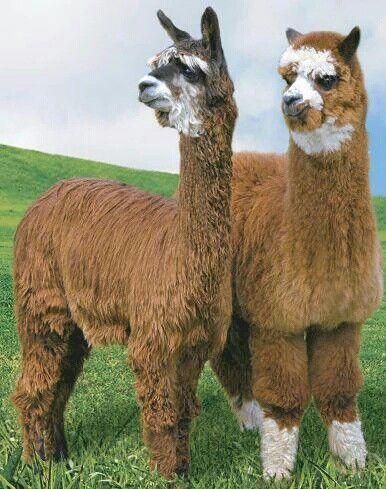 La lana de #alpaca puede tener hasta 22 colores naturales!   #modasostenible