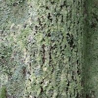 That unsightly green fungus growing on your oak tree's bark is actually lichen, which is a combination of fungi plus algae. The lichen's presence indicates that your environment is free from pollutants. Lichen won't harm your oak tree, but it does indicate weak foliage cover, since sun promotes lichen growth. While you may be pleased to know you...