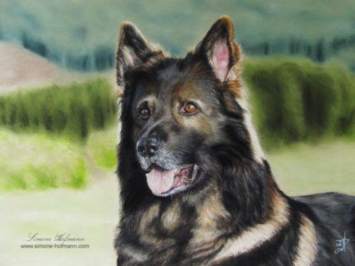 Deutscher Schäferhund Quenn - Tierportrait Pastellkreide