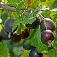Йошта – полезные свойства и рецепты варенья из йошты