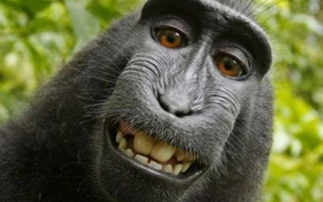 Una scimmia che fa causa ad un fotografo? Naturalmente! Questa però al nostro Fabrizio Corona, manca davvero... ma prima o poi accadrà anche a lui! Una scimmia ritiene di essere l'autrice di alcune foto pubblicate da un forografo e lo trascina in tribunal #animali #selfie #tribunale #fotografia