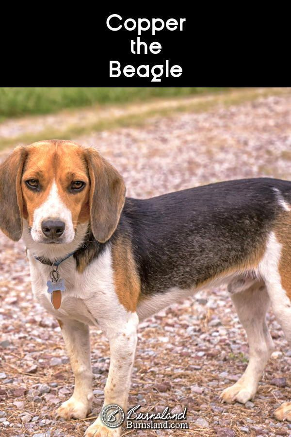 Copper The Beagle Beagle Photography Tips Photography