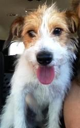 Mojo is an adoptable Jack Russell Terrier Dog in Poway, CA. Mojo is an 8 month old male rough coat Jack Russell Terrierweighing15 lb. He is a submissive little man, extremely affectionate, loves hu...