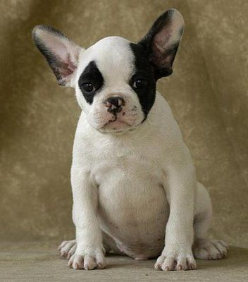 bulldog francés | razas de perros: BULL DOG FRANCES