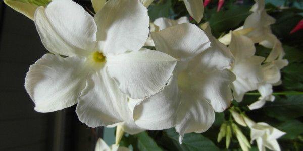 mandevilla-laxa (Sundaville dipladenia (mandevilla)