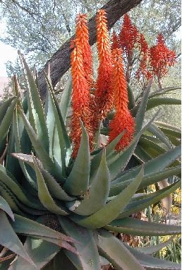 the meaning of Aloe- grief, wisdom, integrity  http://www.joyofgardening.org