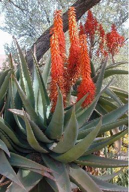 the meaning of Aloe- grief, wisdom, integrity  http://www.joyofgardening.org