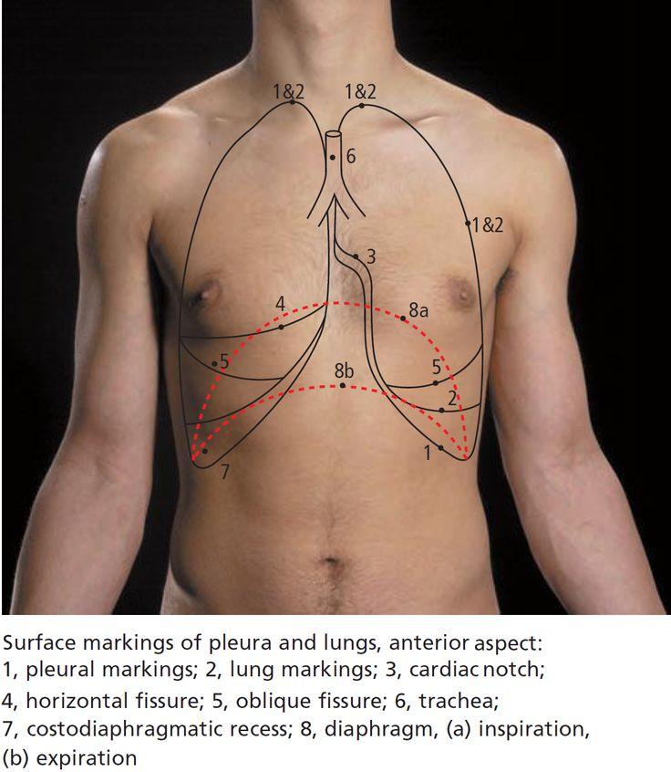 Nett Lungs Surface Anatomy Galerie Menschliche Anatomie Bilder