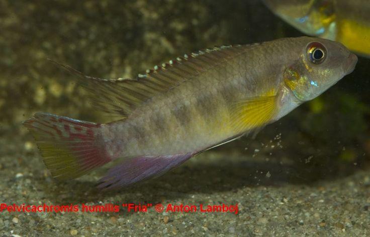 """Pelvicachromis humilis """"Fria"""""""