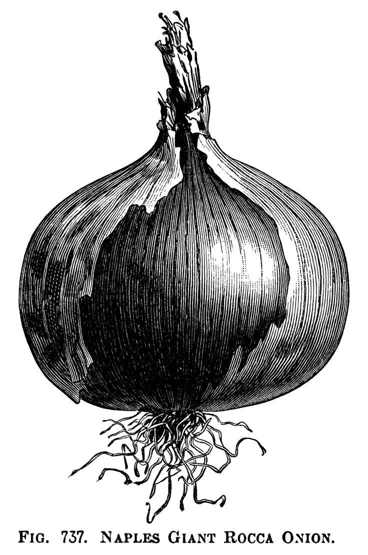 black and white clipart, onion illustration, printable vegetable graphics, vintage garden clip art, naples giant rocca, queen onion