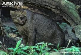JAGUARUNDIS HERPAILURUS YAGOUAROUNDI or eyra cat is a small wild cat native to Central and South America. It has been listed as Least Concern on the IUCN Red List since 2002. Its presence in Uruguay is uncertain. The megareserves of the Amazon Basin are probably the only conservation units that can sustain long-term viable populations.