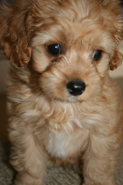 Lilyfield Life: Introducing Charlie - Our Cavoodle