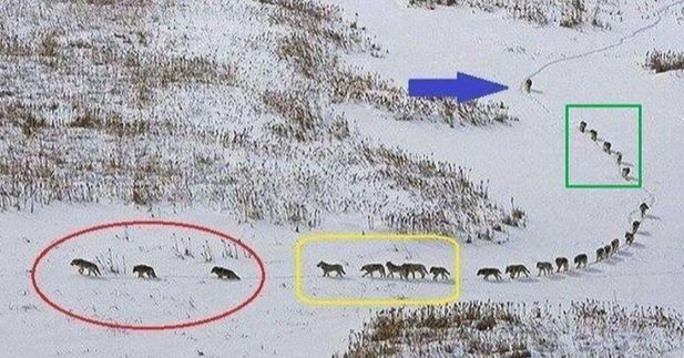 The Wisdom of Wolves  The 3 in front are old & sick they walk in front to set the pace of the running group lest they get left behind.  The next 5 are the strongest & best they are tasked to protect the front side if there is an attack.  The pack in the middle are always protected from any attack.  The 5 behind them are also among the strongest & best; they are tasked to protect the back side if there is an attack.  The last one is the LEADER. He ensures that no one is left behind. He keeps…