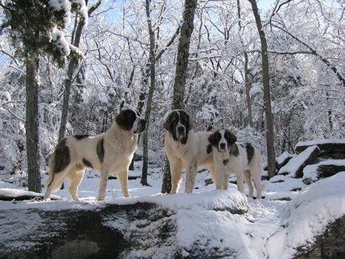 Pyrenean Mastiff Dog Breed Information - American Kennel Club