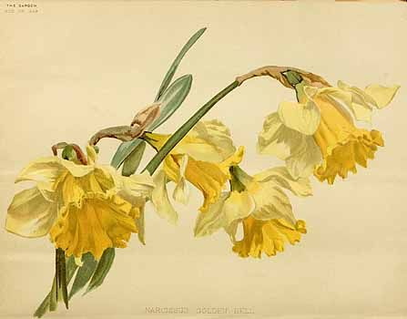 202907 Narcissus hort. cv. Golden Bell / The garden. An illustrated weekly journal of horticulture in all its branches [ed. William Robinson], vol. 44:  (1893)