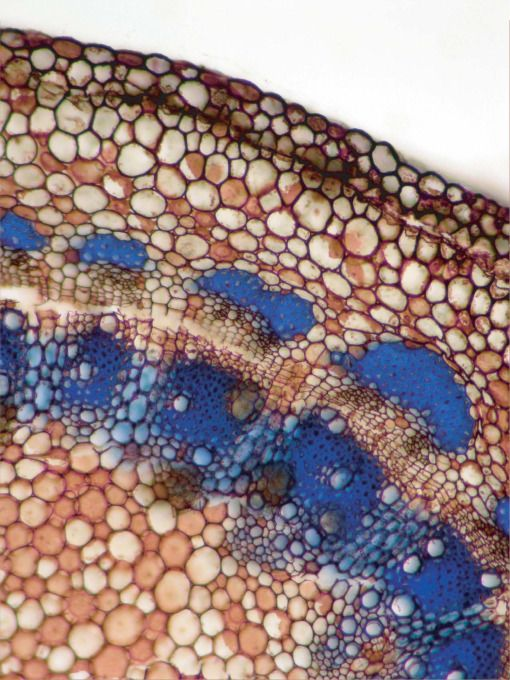 Judy Jernstedt, Stem cross section of Pereskia guamacho