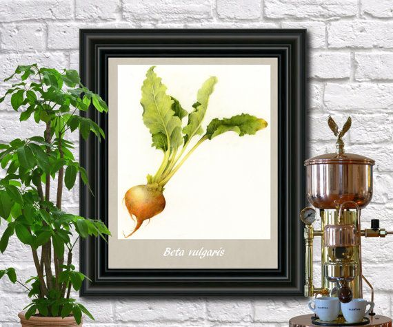 Beet Vegetables antique botanical print by FabVintagePosters