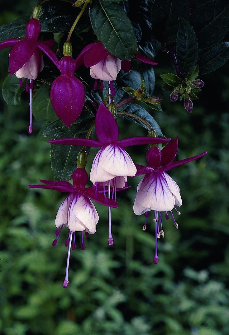 Fuchsia 'Ballerina' - these flowers are perfectly gorgeous, if you want to have a true fuchsia bush then get a big pot to put it in that will be big enough for it to have room to grown further on.