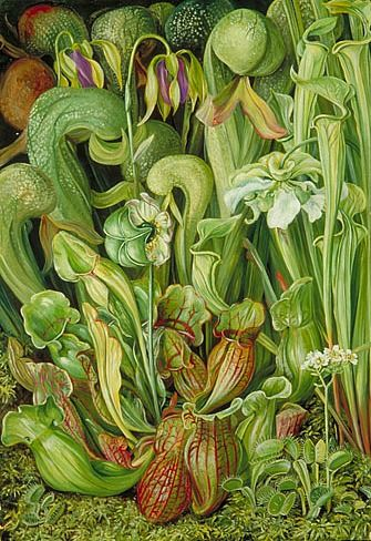 by Marianne North from North American Carnivorous Plants, 19th century