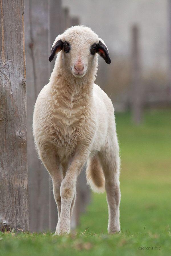 lamb by zoran simic