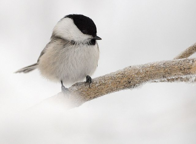 Adorable willow tit photographed by Matti Suopajärvi (via seesaw http://seesawdesigns.blogspot.com/2011/01/etc.html)