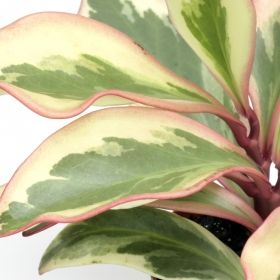 jelly peperomia one of over 400 varieties from exotic angel plants over 400 different. Black Bedroom Furniture Sets. Home Design Ideas
