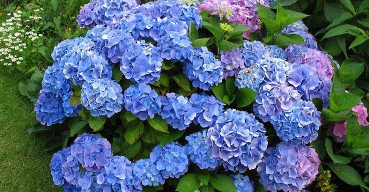 Hortensje, które łatwo przybierają kolor niebieski to 'Blaumeise', 'Bodensee', 'Enziandom', 'Frillibet', 'Generale Vicomtesse de Vibraye', 'Madame Faustin Travouillon', 'Nikko Blue', 'Otaksa', 'Queen Elizabeth' czy 'Renate Steiniger'