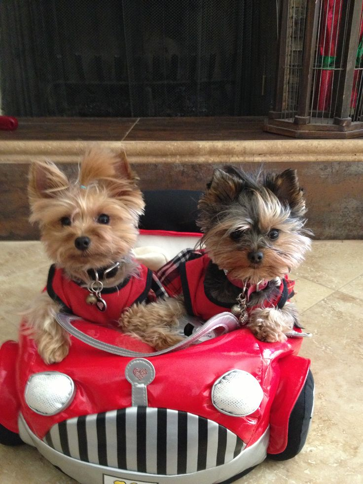 Yorkies...life in the fast lane!