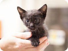 Meet Mackenzie, a kitten for adoption at East Lake Pet Orphanage (ELPO).