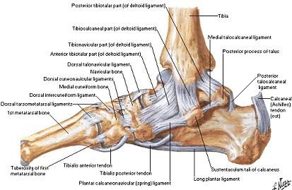 the o 39 jays on pinterest : foot ligaments diagram - findchart.co
