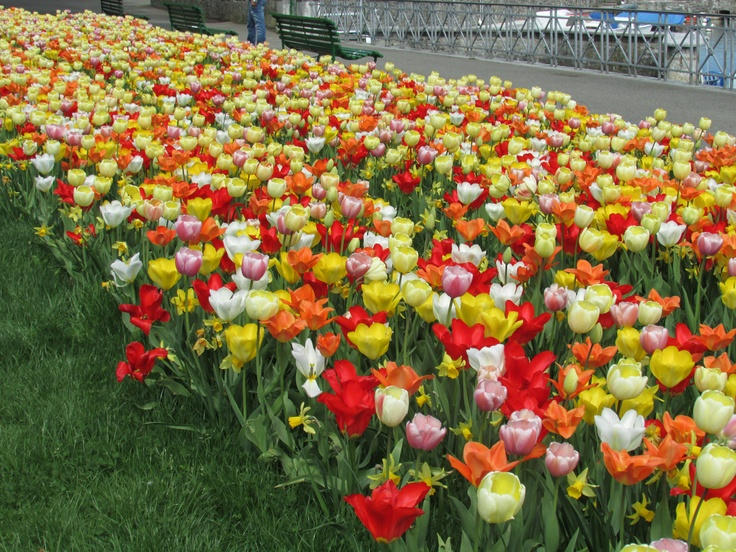 Gardens of Geneva - These beautiful tulips bring colour and a vibrant look at the gardens of Geneva. The amazing variety of colour and radiance combine together to give a stunning flower bed.