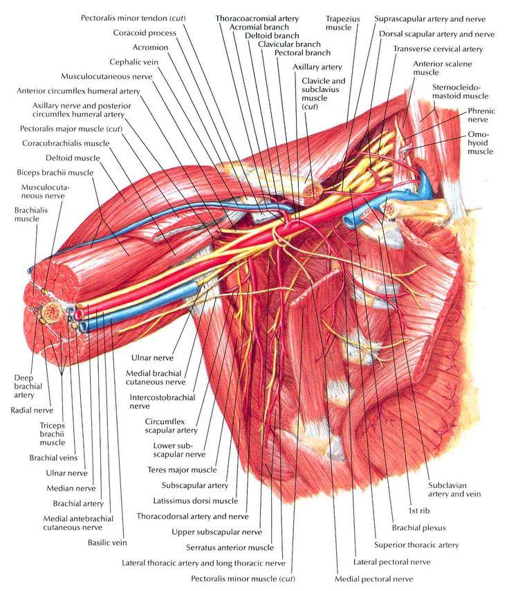 Axilla: Anterior View | Cadaver Lab Practical 1 | Pinterest